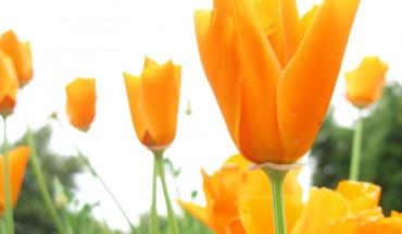 orange_flower